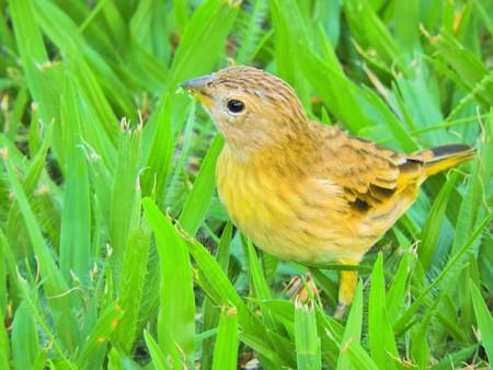 Beautiful yellow canary walking on the grass. Wildlife's scenery. Animal's scenery. Beautiful bird's scene in nature. Stock Photo