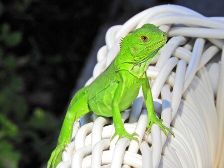 Lizard in the wild. Great animal scene. Wildlife scenery. 版權商用圖片