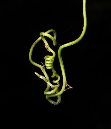 green little vine Stock Photo