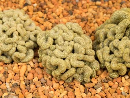 brain cactus on stones