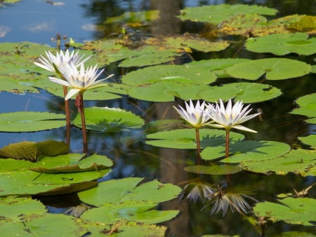 blooming lotus on the pool Stock Photo