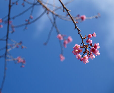 Cherry blossom tree with clear sky, color background photo