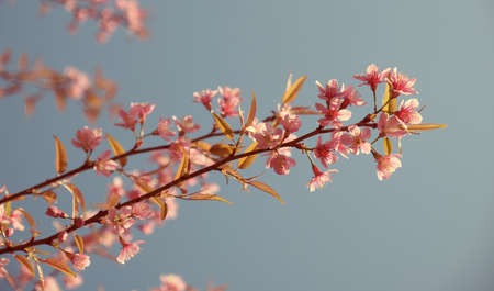 Cherry blossom flower tree with clear sky, vintage color background photo