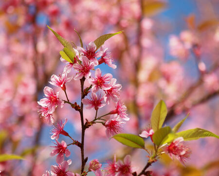 Cherry blossom flower tree with clear sky, color background photo