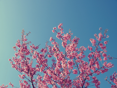 Cherry blossom tree with clear sky, vintage color background photo