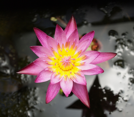 Closeup of Pink Lotus flower photo