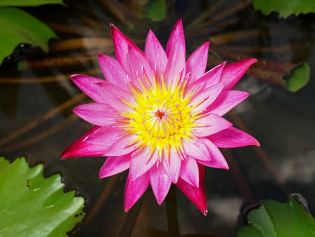 Closeup of Pink Magenta Lotus flower on water photo