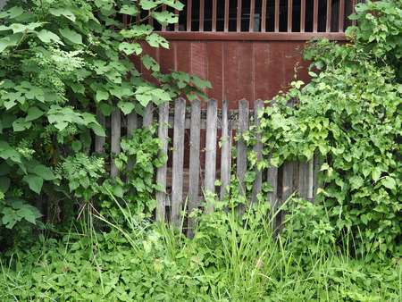antique wood fence with untidy plant