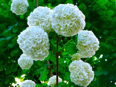 boule de neige: Snowball arbre Fleurs