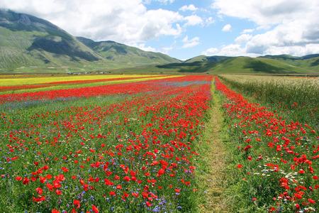 Field of poppy flower