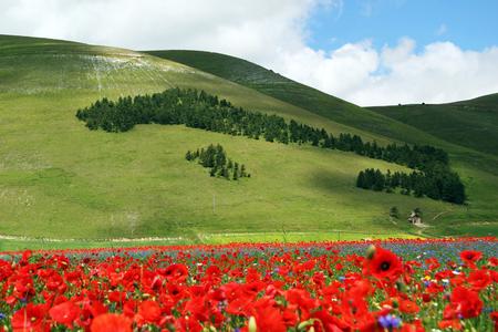 Filed of poppy flowers Stock fotó