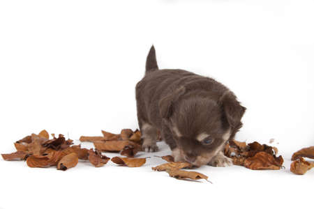 chihuahua pup playful on blue background photo
