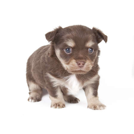 chihuahua pup: chihuahua pup playful on blue background