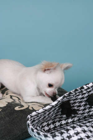 chihuahua pup: chihuahua pup sitting on colored background
