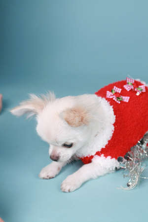 chihuahua pup sitting on colored background in christmas spirits photo