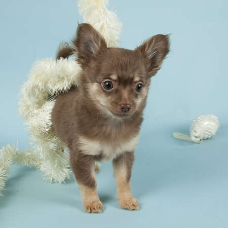 chihuahua pup: Chihuahua pup on colored background Stock Photo