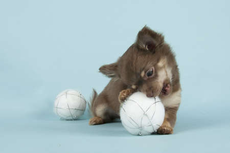 Chihuahua pup on colored background photo