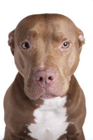 pitbull: Pitbull sitting on white background