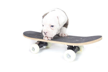 pups: Bulldog pups playing on white background Stock Photo