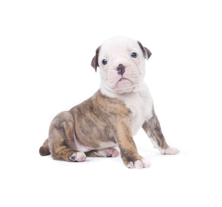 Bulldog pups playing on white background Stock Photo