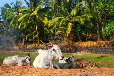 indian village: Four Cows laying on the beach with green palm trees at background in Candolim, Goa, India