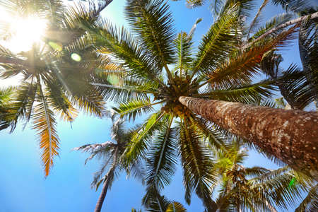 palmtree: Palms with coconuts at blue sky with glowing sun in hot summer day Stock Photo
