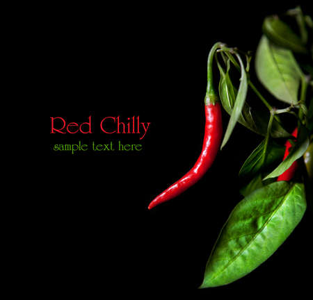 red chilli pepper plant: Growing red chilly with leaves at black background. Free space for sample text and can be used as template Stock Photo