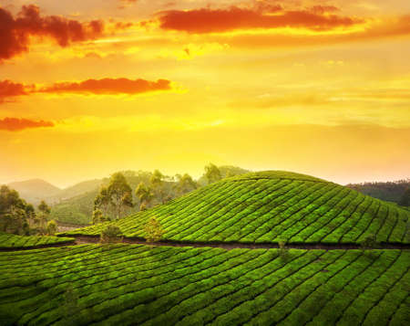 agriculture india: Tea plantation valley at sunset dramatic orange sky in Munnar, Kerala, India