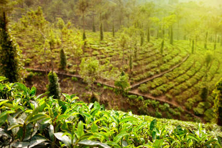 bush pepper: Tea plantation valley and tea leaves close up at sunset in Kerala, India