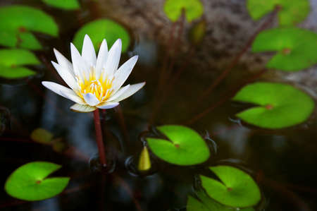 lilia: Blooming White lotus flower with green leaves in the pond in India