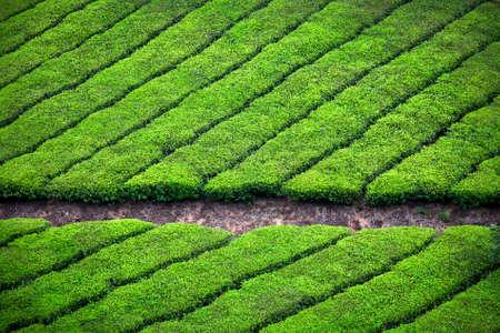 munnar: Tea plantation valley background in Munnar, Kerala, India  Stock Photo