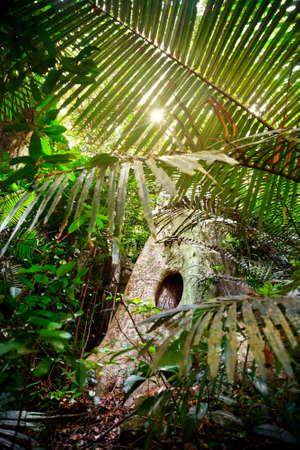 hollow tree: Sunlight in the jungle of Ponmudi park in Kerala, India