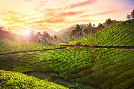 munnar: Tea plantation valley at sunset dramatic orange sky in Munnar, Kerala, India