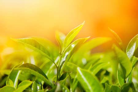 hojas de te: Hojas de t� en las plantaciones de t� en el valle de Munnar, Kerala, India