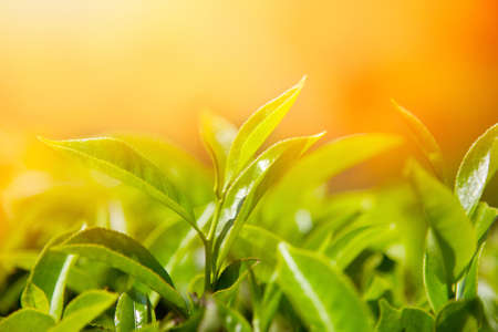 teepflanze: Teebl�tter bei Teeplantage Tal Munnar, Kerala, Indien