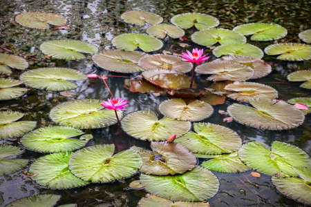 Blooming pink lotus flower with green leaves in the pond in India photo