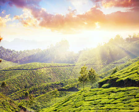 agriculture india: Tea plantation valley at sunset dramatic sky in Munnar, Kerala, India
