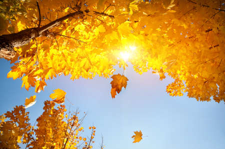 Yellow maple leaves falling from tree in autumn at blue sky with sun photo
