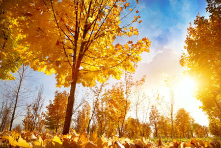 kazakhstan: Maple trees with yellow leaves in autumn park at sunset
