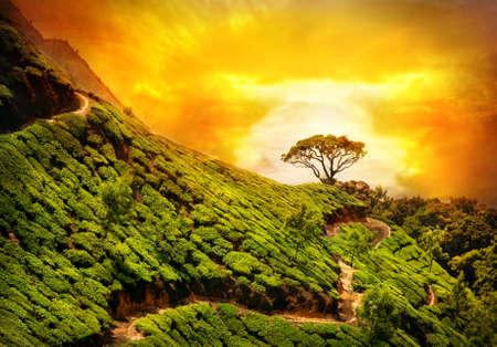 Tea plantation valley at dramatic orange sunset sky in Munnar, Kerala, India  Stock Photo