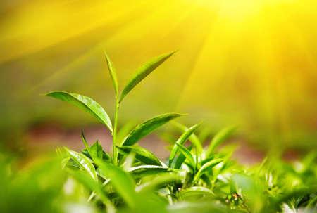 hojas de te: Hojas de t� en la plantaci�n de t� en Munnar, Kerala, India