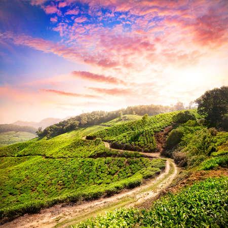 Tea plantation valley at dramatic pink sunset sky in Munnar, Kerala, India
