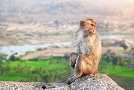 karnataka: Monkey sitting at Hanuman Monkey Temple near ruins of Vijayanagara Empire in Hampi, Karnataka, India Stock Photo
