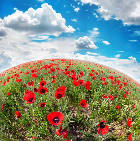 kazakhstan: Poppy flowers on the field at spring time in Kazakhstan, central Asia