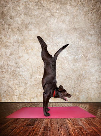yoga meditation: Yoga dog doing handstand pose on red yoga mat in yoga hall