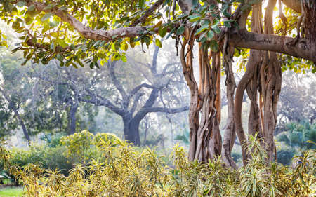 new delhi: Banyan tree in Buddha Jayanti park, New Delhi, India Stock Photo