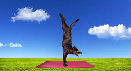 Funny Dog doing yoga on the red yoga mat on green grass at blue cloudy sky