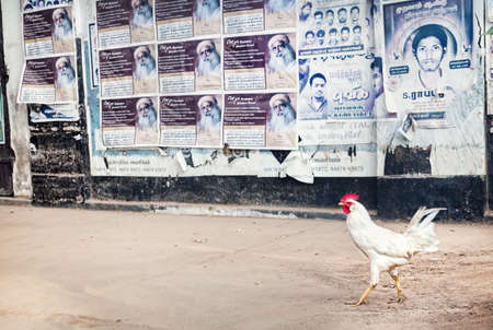 Puducherry, INDIA - January 27: White cock going down the street at posters background in Puducherry, also known as Pondicherry, on January 27, 2013.