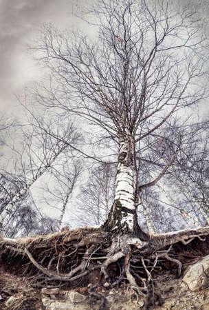 灰色の暗い空で森にルーツを持つ大きな白樺