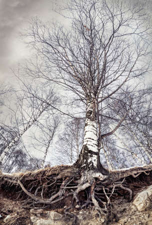 Big birch with roots in the forest at grey dark sky